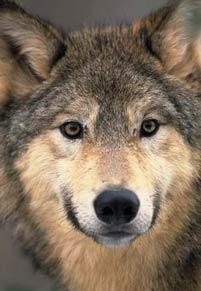 Lupul - specie protejata in Europa si in Romania!
